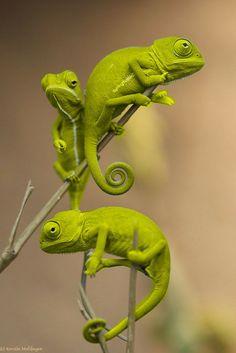 Chameleons are pretty cool ...
