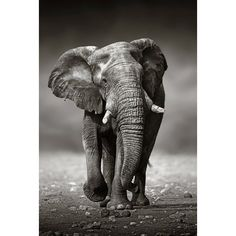 Find African Elephant Loxodonta Africana Approach Front stock images and royalty free photos in HD. Explore millions of stock photos, images, illustrations, and vectors in the Shutterstock creative collection. of new pictures added daily. Photo Elephant, Elephant Poster, Elephant Love, Bull Elephant, Elephant Canvas, Elephant Artwork, Lion Poster, Elephant Head, Poster Poster