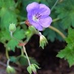 Vaste plant van het jaar: geranium 'Rozanne'
