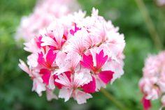 Tähtipelargoni Fay Brawne kukkii myös vaaleanpunaisin kukin. Tämä yksilö ei tosin näytä tietävän olisiko voimakas pinkki vai vaaleampi hempukka.