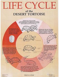 Life Cycle Of Desert Tortoises | Tortoise Group