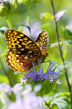 Great Spangled Fritillary in Wild Bergamot by Bernie Kasper