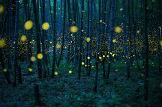 """Sony World Photography Awards""""  Vincitore fotografo dilettante dell'anno  Kei Nomiyama (Giappone), La foresta di bambù incantata  In Giappone la stagione delle lucciole comincia più o meno in corrispondenza con l'inizio delle piogge: il tipo di lucciola ritratta nella foto è chiamata Luciola parvula e si può trovare soprattutto nelle foreste di bambù.  (© Kei Nomiyama, Giappone, 2016 Sony World Photography Awards)"""