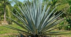 Agave tequilana – Blue Agave, Tequila Agave