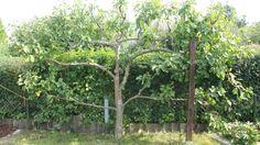 Obstbaumschnitt