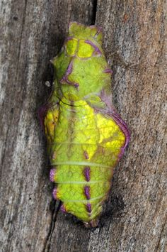 Pipevine Swallowtail Pupa