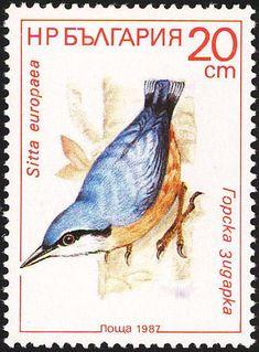 Eurasian Nuthatch (Sitta europaea)