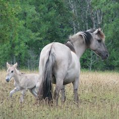 Sorraia mare and foal. Baby Horses, Wild Horses, Pretty Horses, Beautiful Horses, Farm Animals, Cute Animals, Horse Age, Majestic Horse, Wild Mustangs