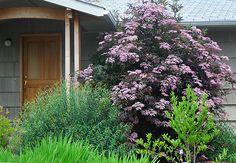 Bez czarny 'GERDA' Sambucus nigra Black Beauty C3/40cm - Internetowy sklep ogrodniczy