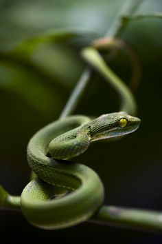 young viper