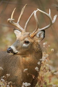 Big Beautiful White Tail Deer Buck