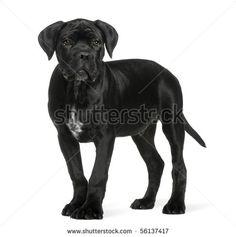 silhouette cane corso - Google zoeken