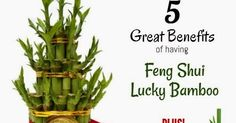 Lucky Bamboo Meaning and Benefits They represent positive growth in every aspect. Yet, for a keener eye, bamboo symbolizes wi...