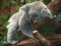 Koala facts!