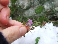 5 tips for eating wild plant foods in winter, even when it's snowing.