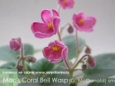 Mac's Coral Bell Wasp