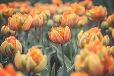 Orange Princess Tulips - Eden Project | por Ben K Adams
