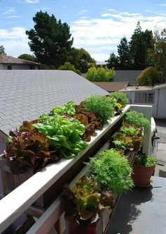 Growing Lettuces and Lemon Gem Marigolds in Window Boxes