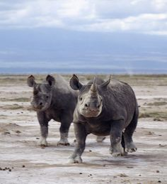 Two black rhinos on the open plains at Amboseli, Kajiado, Kenya:  Poaching of this severely endangered species led to its extermination in this region in the late 1980s.  They have very poor eyesight and are prone to charge at the slightest noise or disturbance, making them easy prey.  by Nigel Pavitt