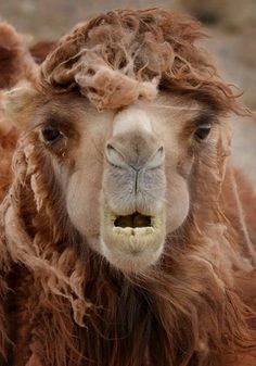 look at that face - bactrian camel