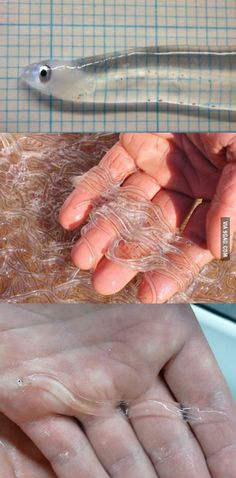 Glass eels.
