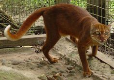The ultra elusive, uber evasive, super rare Bornean Bay Cat had never been seen by a living human until a specimen was captured alive (above) in 1992. The nocturnal cat species lives only on the island of Borneo and due to rapidly increasing deforestation, a population of less than 2500 is estimated!~~Beautiful!