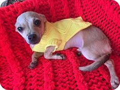 **PUPPY* Phoenix, AZ - Chihuahua Mix. Meet Ben, a dog for adoption.  He was rescued from the county shelter with his mom who is available for adoption too! http://www.adoptapet.com/pet/14636677-phoenix-arizona-chihuahua-mix