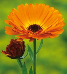 I love marigolds in the garden and the cutting patch. Calendula officinalis 'Indian Prince' is a deep orange with crimson backs which match the crimson centre of the flower.