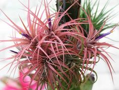 Air Plants – the house plant that lives on a bit of neglect. Tillandsia is also known as an air plant. Air plants are a member of the <em class=short_underline> epiphyte </em> family. This plant needs no soil to grow and gets its nourishment from the air. Air plants have specialized leaves that draw in nutrients. An air plant can also have roots, but it uses these only to attach itself to rocks, trees, shrubs and even the g...