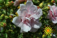 Sugar Tip Rose of Sharon: Plant in full sun, prune in fall/winter, reaches a height of 8 to 12'