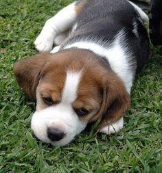 Adorable Beagle pupster