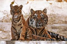 Tigers - Trouble Brewing by robbobert on deviantART