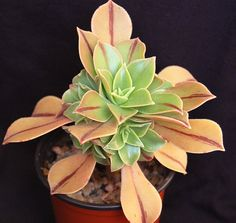 Aeonium leucoblepharum by surrealsucculents, via Flickr