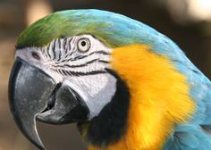 The Face of A Blue-and-Yellow Macaw.