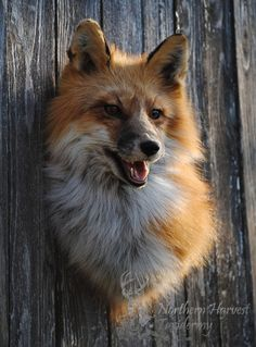 ak_red_fox_shoulder_mount_2_by_lilmissdoeeyes-d49n3gn.jpg 600×813 pixels
