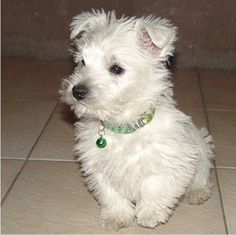 West Highland Terrier Puppy (Westies) Almost brought home one of these lil guys today.  So CUTE!