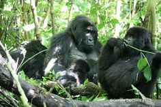 Mapuwa silverbacks Mvuyekure (dominant), Mapuwa, and Mambo Interactions between mountain gorilla families aren't always amicable, but for the Lulengo and M