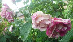 Twee exemplaren van Rosa Ferdinand Pichard, hebben we in 2002 aangeplant in de Oude Rozentuin. De trossen met roze gestreepte bloemen hangen aan de struiken. Deze Remontant rozen zijn voor het eerst gekweekt in 1921.