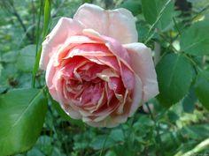Rosa 'Beauté de l'Europe' (France, 1881)