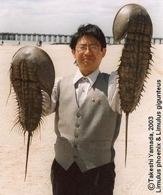 """Dr. Takeshi Yamada of Coney Island University with two giant  horseshoe crabs at Coney Island Beach in Coney Island, Brooklyn, New York in July 2003. These """"living fossils"""" have changed little for the last 400 million years. (Photograph by Prof. Diane M. Taros.)"""