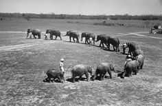 Butch, a baby elephant from India, brings up the rear in a line of elephant circus performers, 1948. (Cornell Capa—The LIFE Picture Collection/Getty Images)