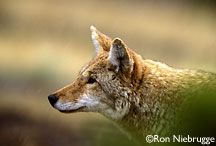 coyote,am hoping to catch a pic of the one in my back yard