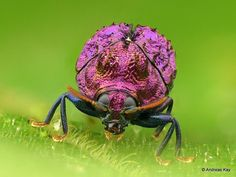 GEMSTONE BEETLE Living gemstone, a leaf beetle from the Amazon rainforest of Ecuador. This little beetle is about 6 mm and probably belongs to the genus Chlamisus. Purple is rare in nature. Photo by Andreas Kay