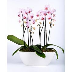 Orchidee Pink in Scale long