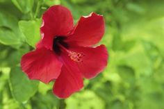 Health Benefits of Hibiscus Tea...lower blood pressure, cholesterol,possible anti-fungal and antibacterial properties as well as good for upset stomach