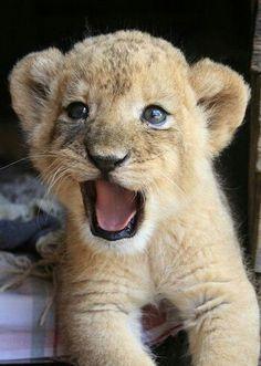 Baby lion cub - so cute animals - Alexandra B Beautiful Cats, Animals Beautiful, Majestic Animals, Beautiful Creatures, Beautiful Images, Animals And Pets, Funny Animals, Wild Animals, Happy Animals