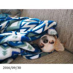 . 2016/09/30 . . . あーた、それそーすの。 包まるほど今日寒くないヨ。 むしろ毛皮着てるでしょ☝🏾️😧 . . . #チワワ #愛犬 #包まる #寒くないわ #返してもらっていい? #幸せそうな顔 #ちっ #少しだけ貸してやるよ #ライちゃん #涙やけ治らんね