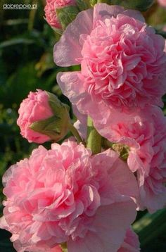 *I think this is a double hollyhock! - *I think this is a double hollyhock! *I think this is a double hollyhock! Exotic Flowers, Amazing Flowers, My Flower, Beautiful Flowers, Pink Roses, Pink Flowers, Pink Carnations, Pink Peonies, Deco Floral