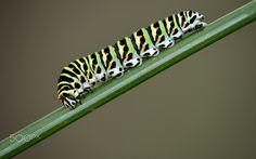 Swallowtail larva - Papilio machaon larva