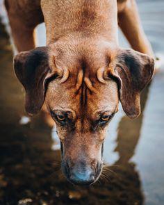 """""""Hunde reden mit den Augen ehrlicher, als Menschen mit dem Mund"""" – Wahrheit? 😄 . . . #topaustriaphoto #uppermoments #upperaustria #oberösterreich #ig_austria #weloveaustria #1000thingsinaustria #igersaustria #discoveraustria #visitaustria #loves_austria #dogstagram #hundeliebe #doglove #dogoftheday #dogphotography #dogsofinstagram #doglover #wanderlust #roamtheplanet #hundefotografie #artofvisuals #agameoftones #welivetoexplore #worldprime #hundeportrait #exklusive_shot #hundefoto… Portrait, Pitbulls, Wanderlust, Dogs, Animals, Instagram, People, Animales, Headshot Photography"""